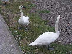 swans at Broughty Ferry
